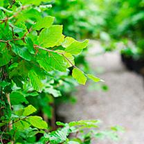 Fagus sylvatica Plants - 10 x 5 Litre Pots