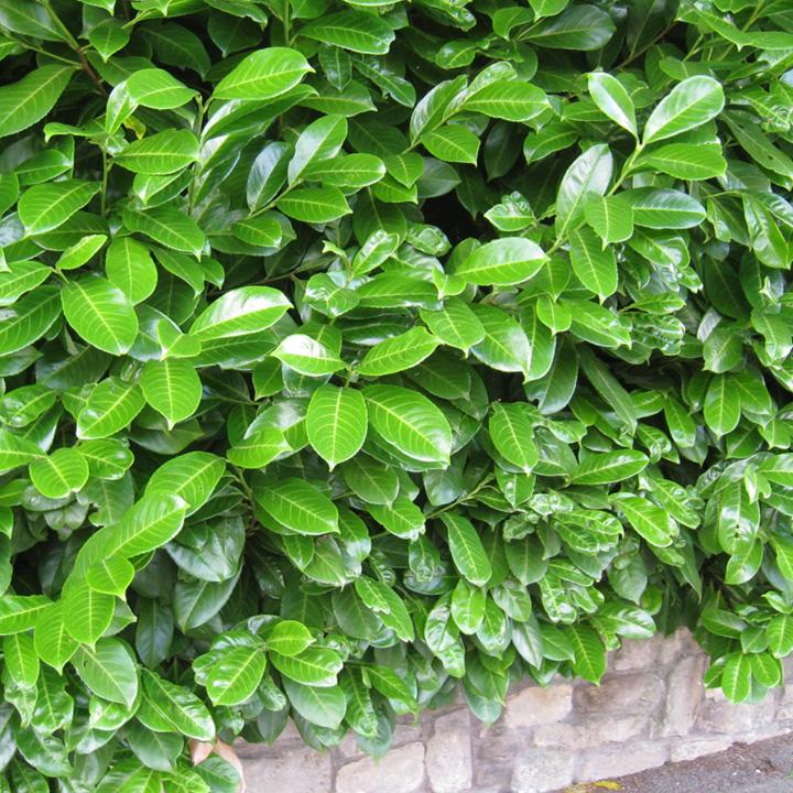 Prunus Laurocerasus Rotundifolia (Laurel) Potted Plants
