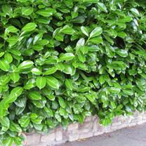 Prunus Laurocerasus Rotundifolia Plants - 10 x 5 Litre Pots