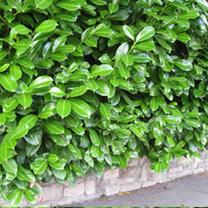 Prunus Laurocerasus Rotundifolia Plants - 20 x 2 Litre Pots