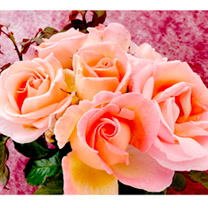 Rose Plant - Sweet Syrie