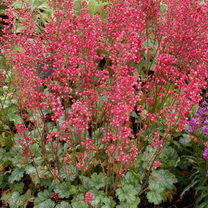 Heuchera Plant - City Paris