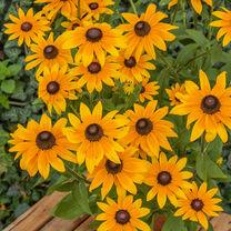 Rudbeckia Plant - Sunbeckia Sophia