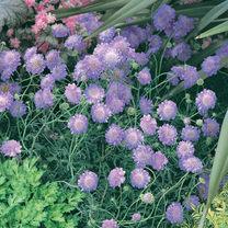 Scabiosa Plant - Columbaria Blue
