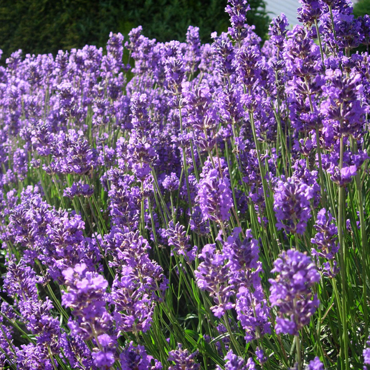 lavandula angustifolia munstead hedging plants flowers. Black Bedroom Furniture Sets. Home Design Ideas