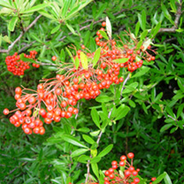 Pyracantha Red Colum Potted Plants