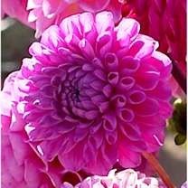 Dahlia Tubers - Addison June