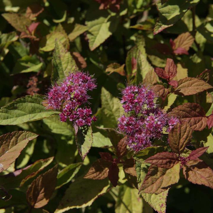 Spirea Plant - Shirpobana