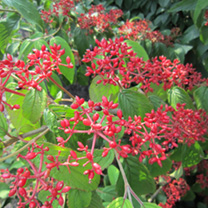 Cotinus Plant - Royal Purple