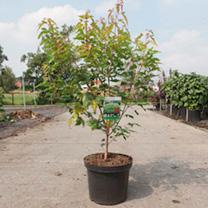 Acer ginnala Plant
