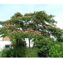 Albizia julibrissin Plant