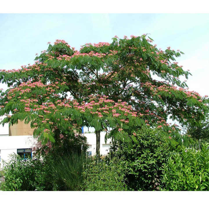 albizia julibr ombrella trees and shrubs flowers. Black Bedroom Furniture Sets. Home Design Ideas