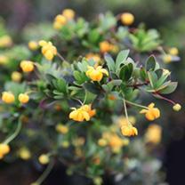 Berberis buxifolia Plant - Nana