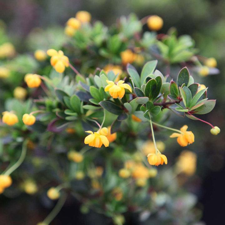 berberis buxifolia plant nana trees and shrubs. Black Bedroom Furniture Sets. Home Design Ideas