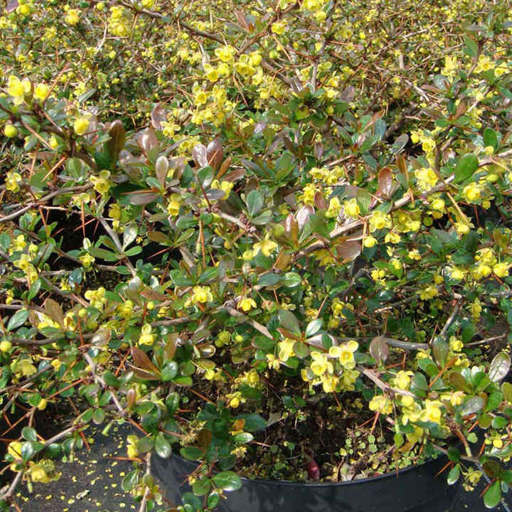 Berberis media Plant - Red Jewel