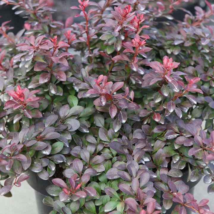 berberis thunbergii plant atropurpurea nana trees and shrubs flowers garden dobies. Black Bedroom Furniture Sets. Home Design Ideas