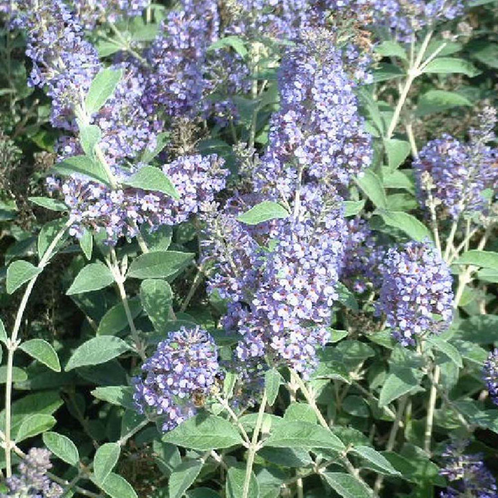 Buddleja Plant - Lochinch