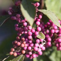 Callicarpa bodinieri Plant - Profusion