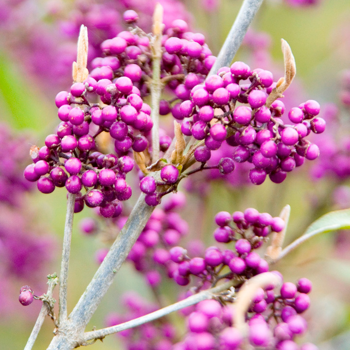 callicarpa bodinieri plant profusion trees and shrubs. Black Bedroom Furniture Sets. Home Design Ideas