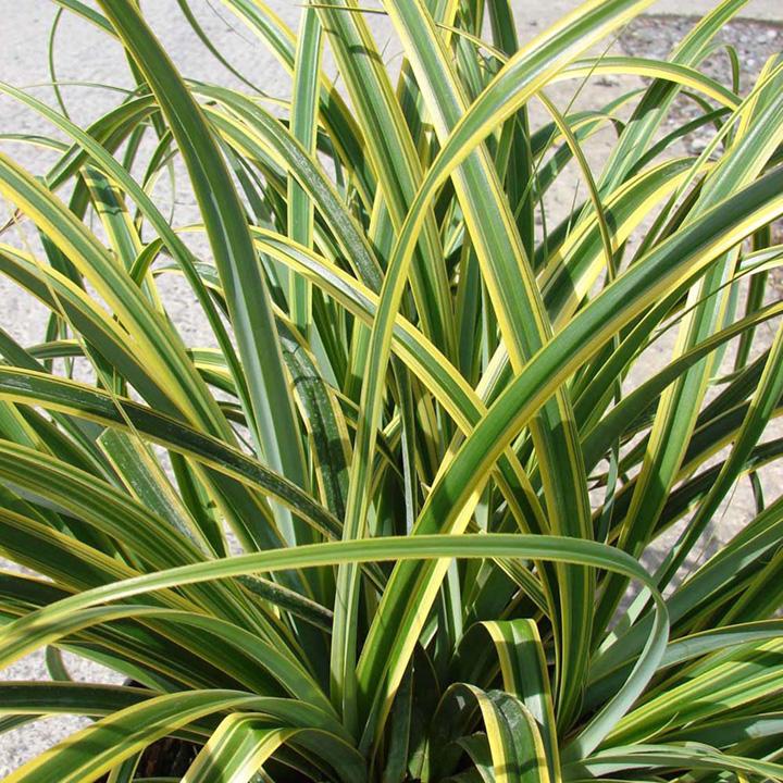 Carex trifida Plant - Rekohu Sunrise®