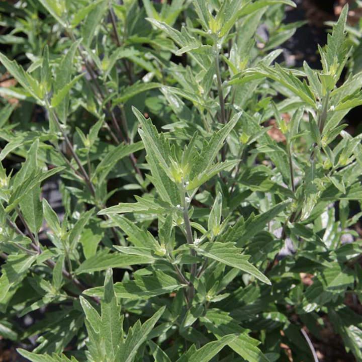 Caryopteris clandonensis Plant - Thetis®