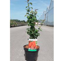 Chaenomeles Plant - Friesdorfer