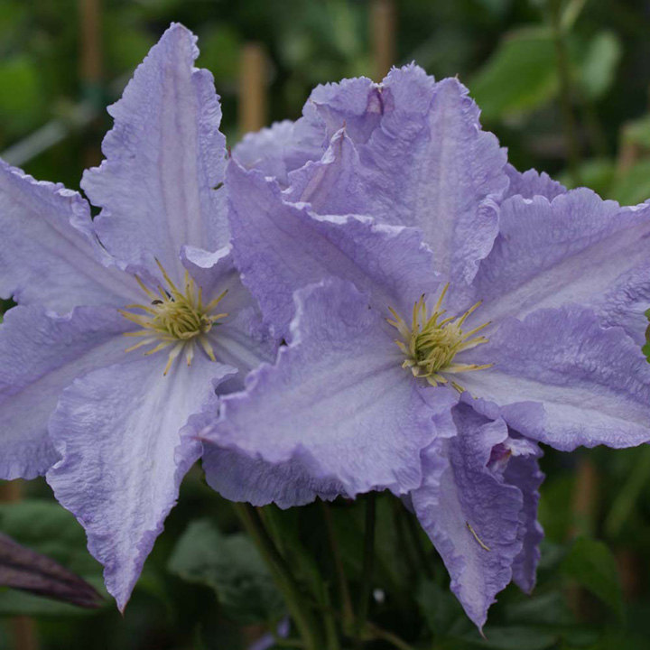 Clematis Plant - Blekitny Aniol