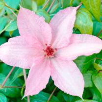 Clematis Plant - Hagley Hybrid