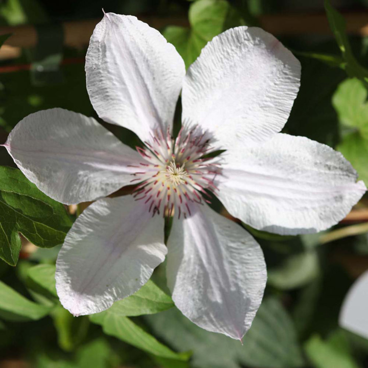Clematis Plant - Jan Pawel II