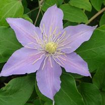 Clematis Plant - Justa