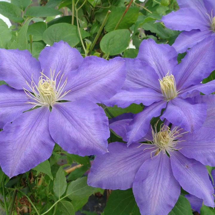 Clematis Plant - Lasurstern