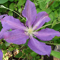 Clematis Plant - Luther Burbank