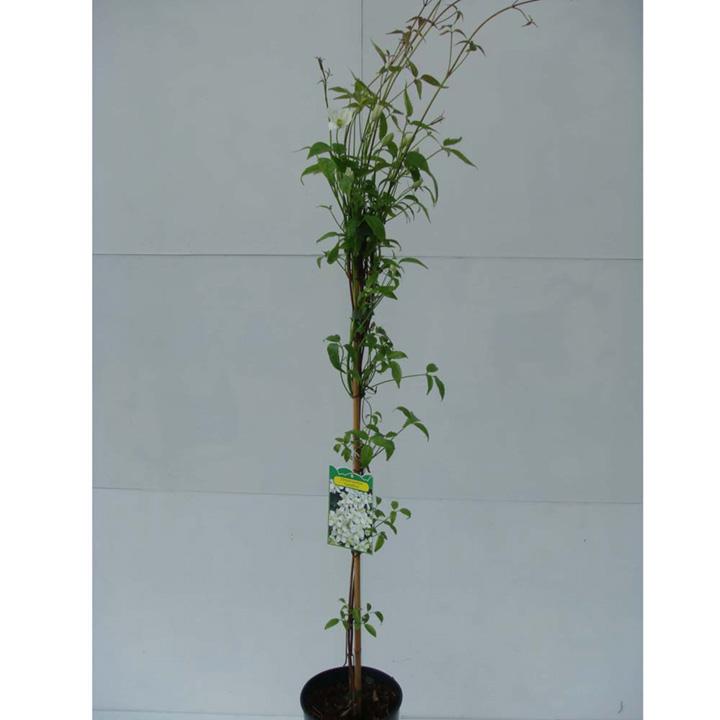 Clematis montana Plant - Grandiflora