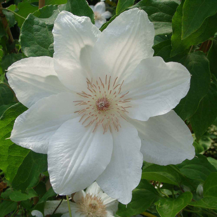 Clematis Plant - Mrs George Jackman
