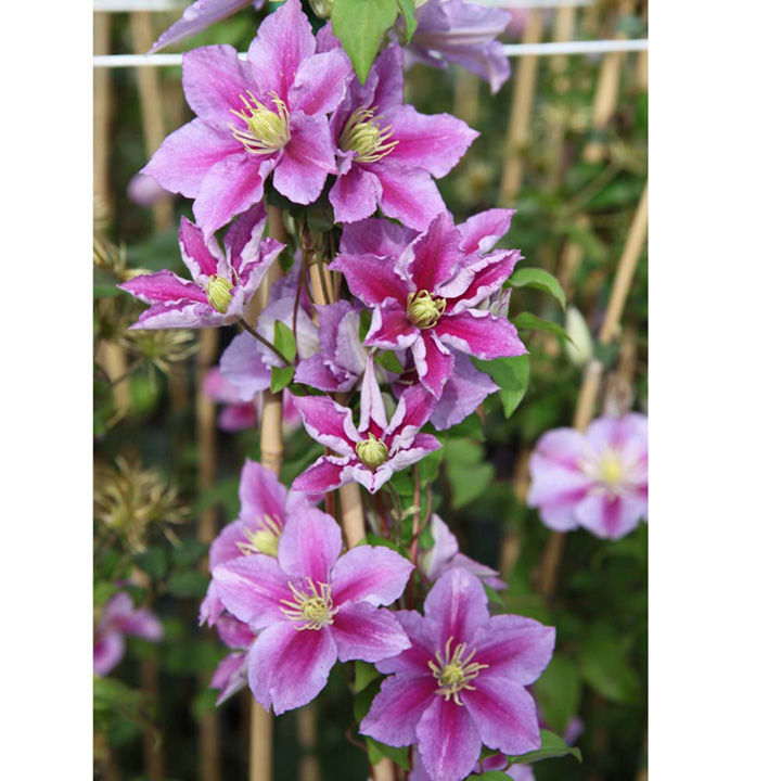 clematis plant piilu trees and shrubs flowers. Black Bedroom Furniture Sets. Home Design Ideas