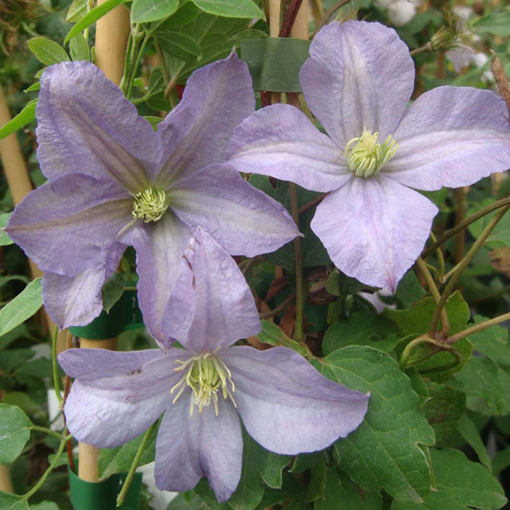 Clematis Plant - Prince Charles
