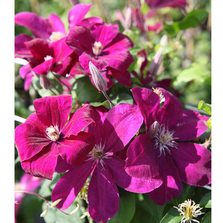 clematis plant rouge cardinal trees and shrubs. Black Bedroom Furniture Sets. Home Design Ideas