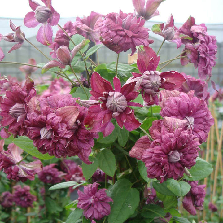 Clematis viticella Plant - Purpurea Plena Elegans