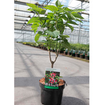 Clerodendrum trichotomum Plant