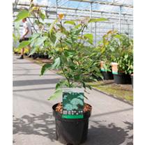 Cornus alternifolia Plant