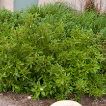 Cornus sericea Plant - Firedance® First Editions®
