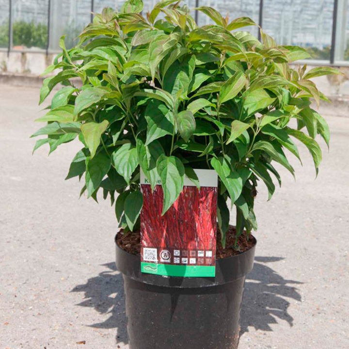Cornus sericea Plant - Kelseyi
