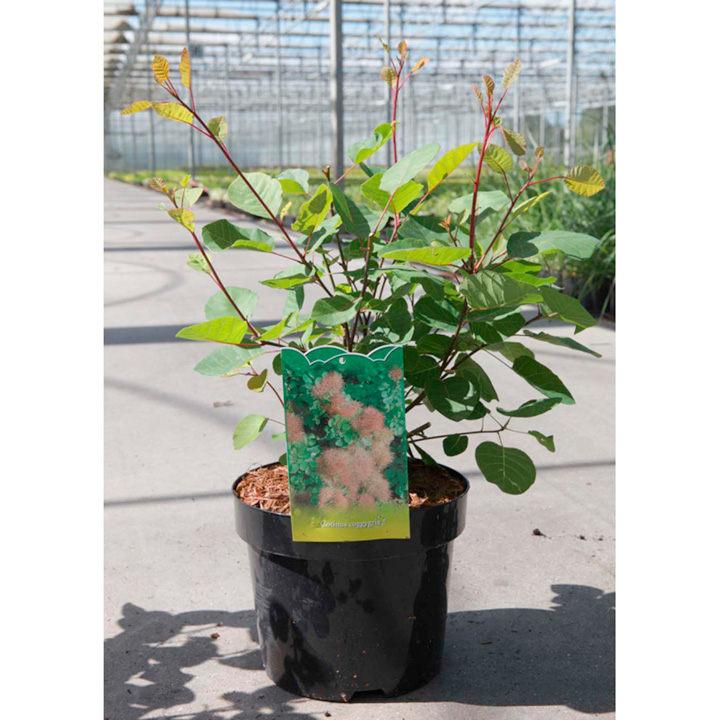 Cotinus coggygria Plant