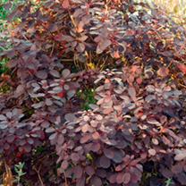 Cotinus cog. Plant - Royal Purple
