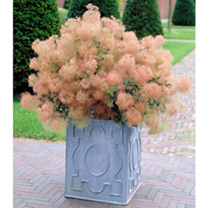 Cotinus cog. Plant - Young Lady