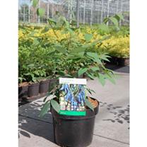 Decaisnea fargesii Plant