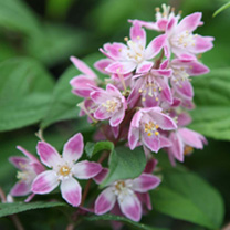 Deutzia hybrida Plant - Tourbillon Rouge