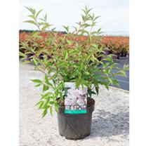 Deutzia purpurea Plant - Kalmiiflora