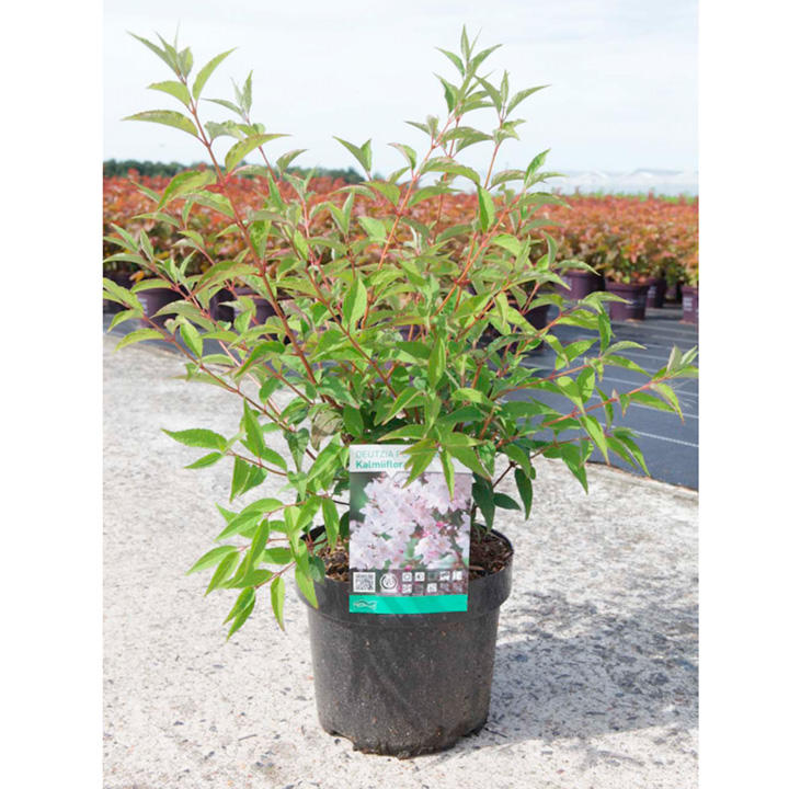 Deutzia purp. Plant - Kalmiiflora