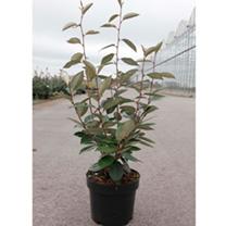 Elaeagnus ebbingei Plant